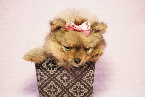 Latte - Teacup Pomeranian Puppy Found her New Loving Home with Sandra from Irvine CA 92612-23512