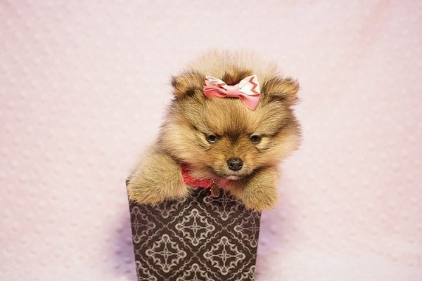Latte - Teacup Pomeranian Puppy Found her New Loving Home with Sandra from Irvine CA 92612-23514