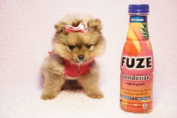 Latte - Teacup Pomeranian Puppy Found her New Loving Home with Sandra from Irvine CA 92612-0