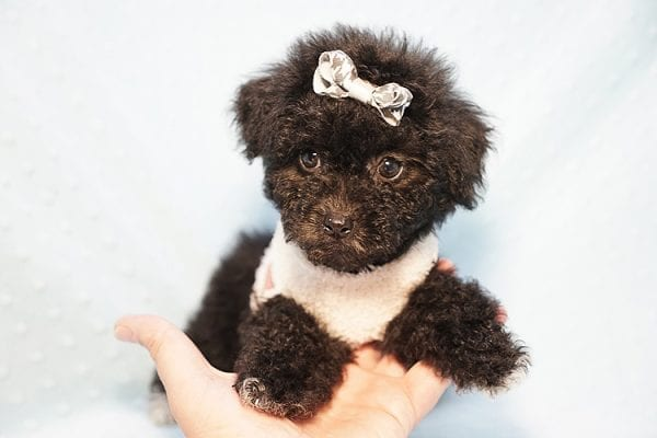 George Foreman - Toy Maltipoo Puppy In Los Angeles-23492