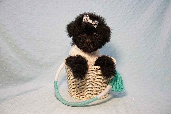George Foreman - Toy Maltipoo Puppy In Los Angeles-23496