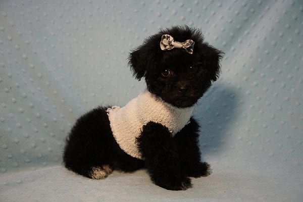 George Foreman - Toy Maltipoo Puppy In Los Angeles-23490
