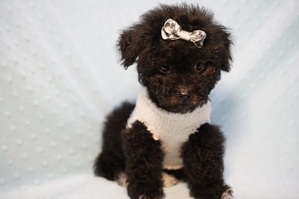 George Foreman - Toy Maltipoo Puppy In Los Angeles-23488