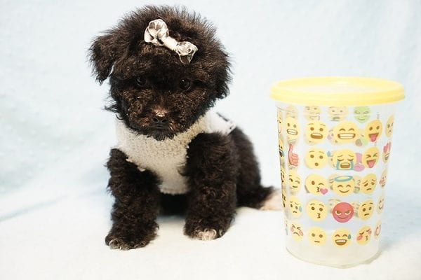 George Foreman - Toy Maltipoo Puppy In Los Angeles-23489
