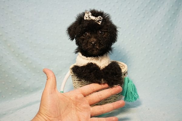 George Foreman - Toy Maltipoo Puppy In Los Angeles-23493