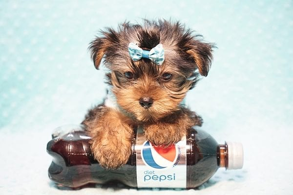 Marc Zuckerberg - Teacup Yorkie Puppy Found His New Loving home with Cristie and Brett from Wakefield MA 01880-23253