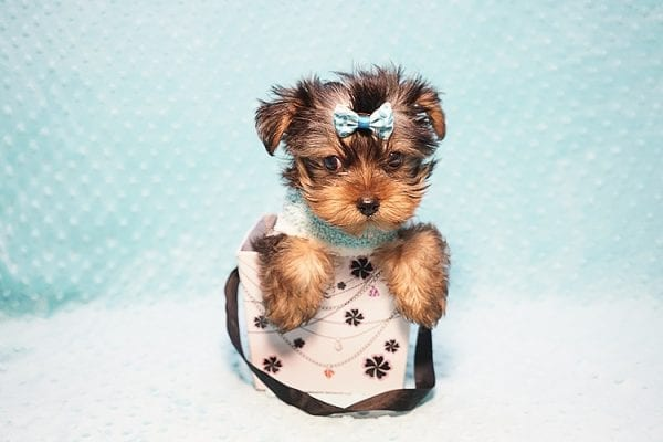 Marc Zuckerberg - Teacup Yorkie Puppy Found His New Loving home with Cristie and Brett from Wakefield MA 01880-23252