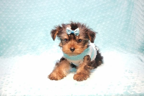 Marc Zuckerberg - Teacup Yorkie Puppy Found His New Loving home with Cristie and Brett from Wakefield MA 01880-23251