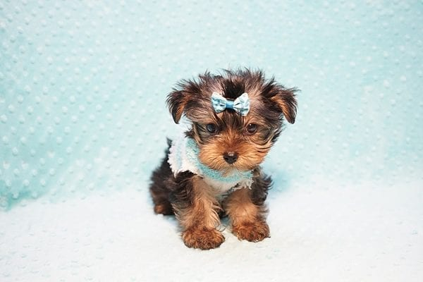 Marc Zuckerberg - Teacup Yorkie Puppy Found His New Loving home with Cristie and Brett from Wakefield MA 01880-23250