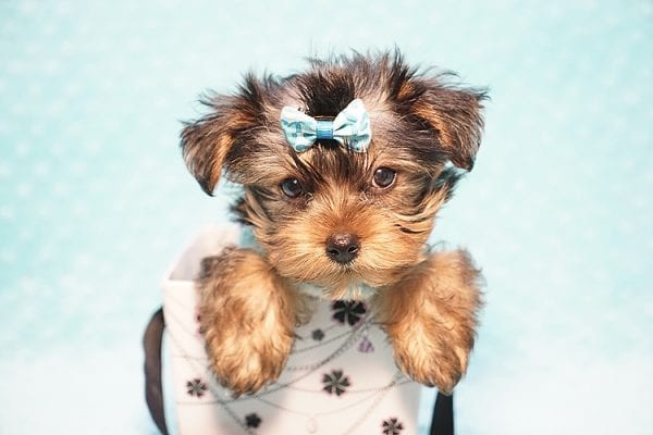 Marc Zuckerberg - Teacup Yorkie Puppy Found His New Loving home with Cristie and Brett from Wakefield MA 01880-0