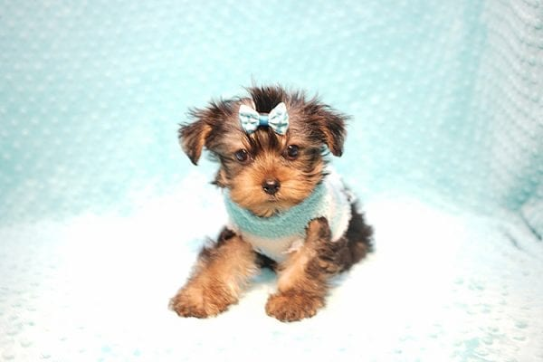 Marc Zuckerberg - Teacup Yorkie Puppy Found His New Loving home with Cristie and Brett from Wakefield MA 01880-23248