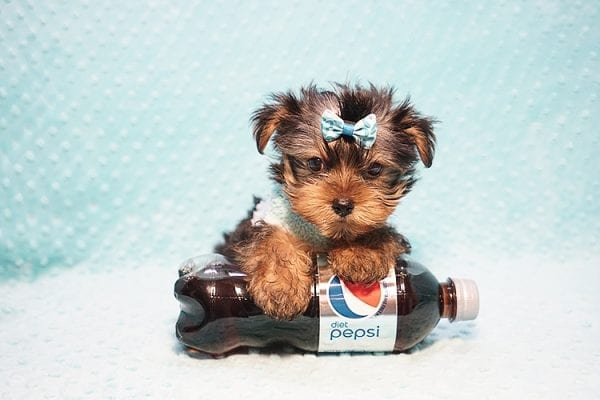 Marc Zuckerberg - Teacup Yorkie Puppy Found His New Loving home with Cristie and Brett from Wakefield MA 01880-23247