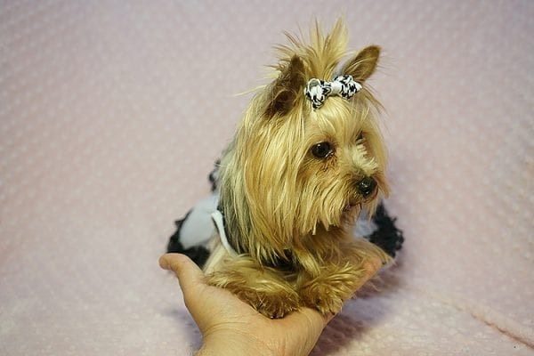 Meghan Markle - Teacup Yorkie Dog Found Her Good Loving Home With Shatara W. In Hawthorne CA, 90250-23379