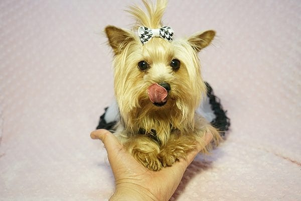Meghan Markle - Teacup Yorkie Dog Found Her Good Loving Home With Shatara W. In Hawthorne CA, 90250-23377