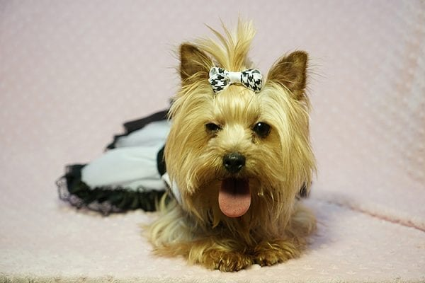 Meghan Markle - Teacup Yorkie Dog Found Her Good Loving Home With Shatara W. In Hawthorne CA, 90250-23380