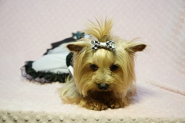 Meghan Markle - Teacup Yorkie Dog Found Her Good Loving Home With Shatara W. In Hawthorne CA, 90250-23381