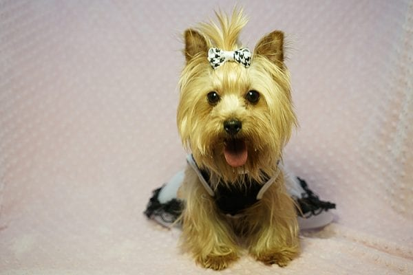 Meghan Markle - Teacup Yorkie Dog Found Her Good Loving Home With Shatara W. In Hawthorne CA, 90250-23374