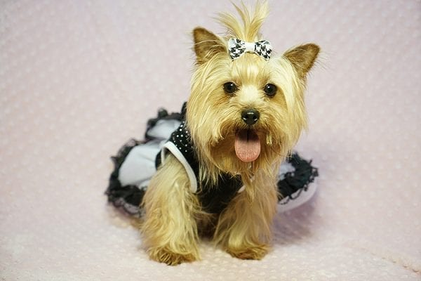 Meghan Markle - Teacup Yorkie Dog Found Her Good Loving Home With Shatara W. In Hawthorne CA, 90250-23384