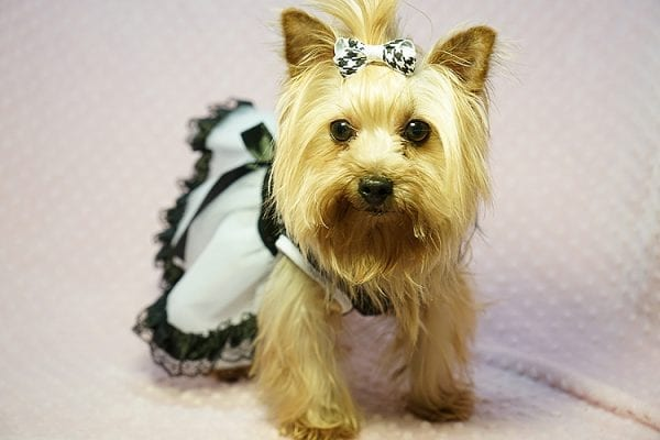 Meghan Markle - Teacup Yorkie Dog Found Her Good Loving Home With Shatara W. In Hawthorne CA, 90250-0