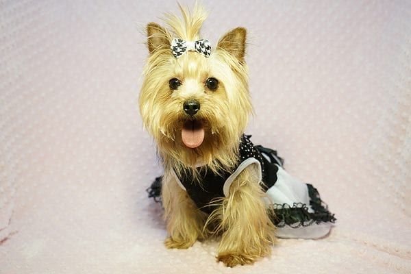 Meghan Markle - Teacup Yorkie Dog Found Her Good Loving Home With Shatara W. In Hawthorne CA, 90250-23376