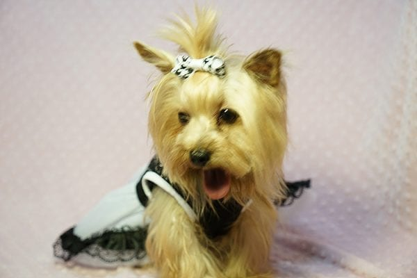 Meghan Markle - Teacup Yorkie Dog Found Her Good Loving Home With Shatara W. In Hawthorne CA, 90250-23375