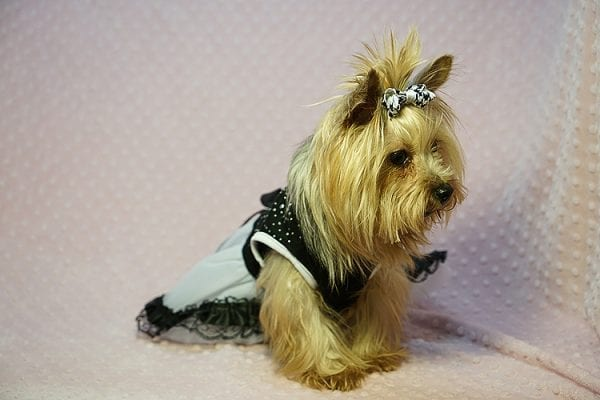 Meghan Markle - Teacup Yorkie Dog Found Her Good Loving Home With Shatara W. In Hawthorne CA, 90250-23378