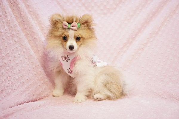 Paris Hilton - Tiny Teacup Pomeranian Puppy has found a good loving home with Brent & Lisa from Las Vegas, NV 89135-23553
