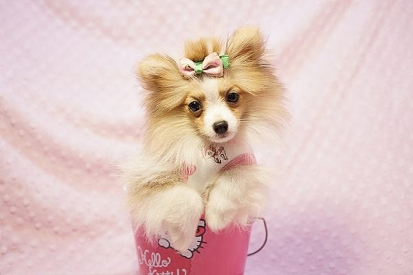Paris Hilton - Tiny Teacup Pomeranian Puppy has found a good loving home with Brent & Lisa from Las Vegas, NV 89135-23558