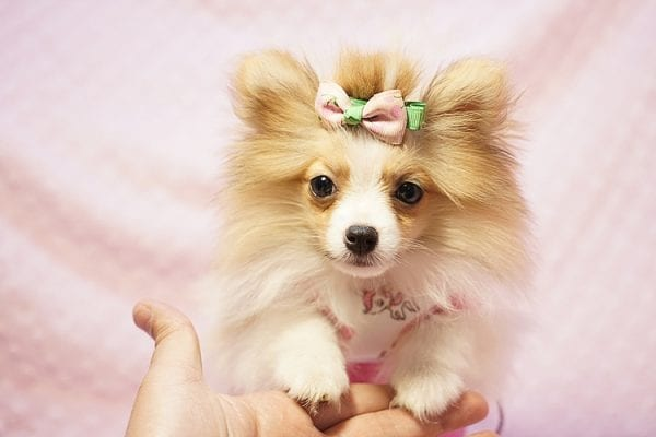 Paris Hilton - Tiny Teacup Pomeranian Puppy has found a good loving home with Brent & Lisa from Las Vegas, NV 89135-23557