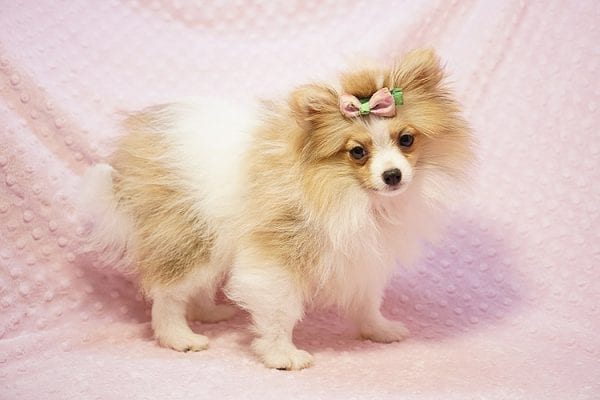 Paris Hilton - Tiny Teacup Pomeranian Puppy has found a good loving home with Brent & Lisa from Las Vegas, NV 89135-23560