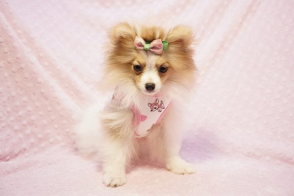 Paris Hilton - Tiny Teacup Pomeranian Puppy has found a good loving home with Brent & Lisa from Las Vegas, NV 89135-23554