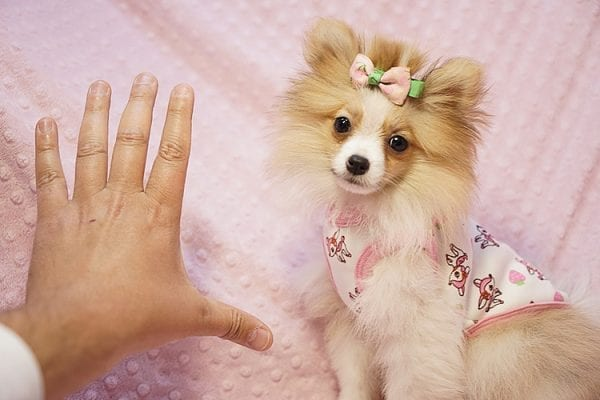 Paris Hilton - Tiny Teacup Pomeranian Puppy has found a good loving home with Brent & Lisa from Las Vegas, NV 89135-23556