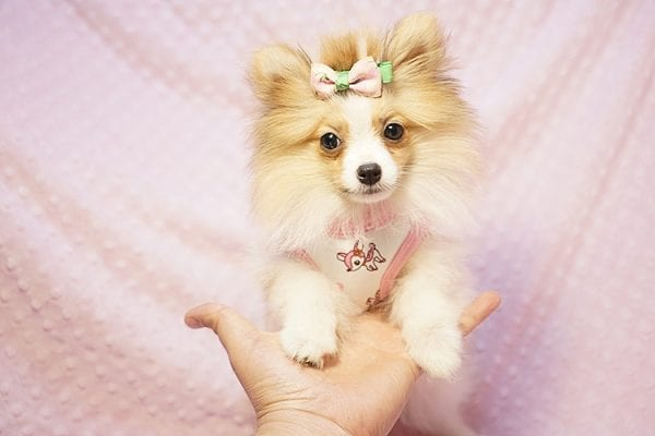 Paris Hilton - Tiny Teacup Pomeranian Puppy has found a good loving home with Brent & Lisa from Las Vegas, NV 89135-23559