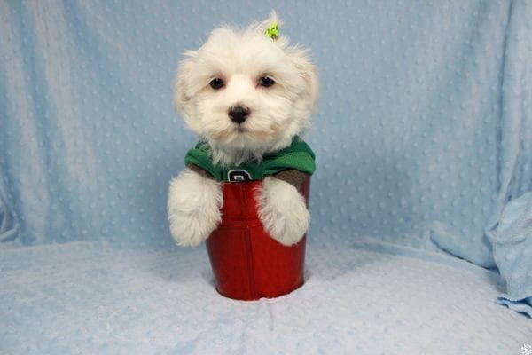 Peter Rabbit - Toy Maltipoo Puppy has found a good loving home with William from Henderson, NV 89183.-23296