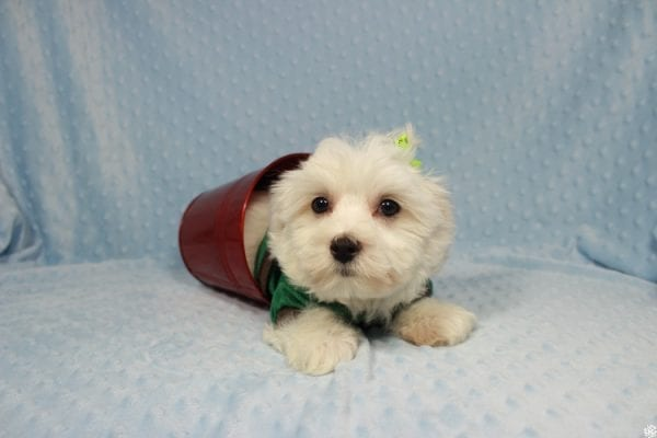 Peter Rabbit - Toy Maltipoo Puppy has found a good loving home with William from Henderson, NV 89183.-23297