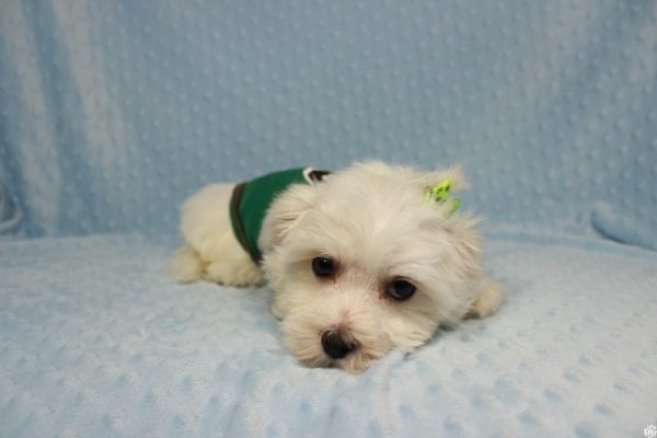 Peter Rabbit - Toy Maltipoo Puppy has found a good loving home with William from Henderson, NV 89183.-23298