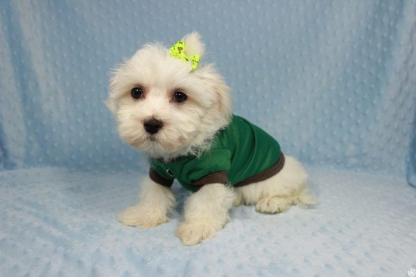 Peter Rabbit - Toy Maltipoo Puppy has found a good loving home with William from Henderson, NV 89183.-23293
