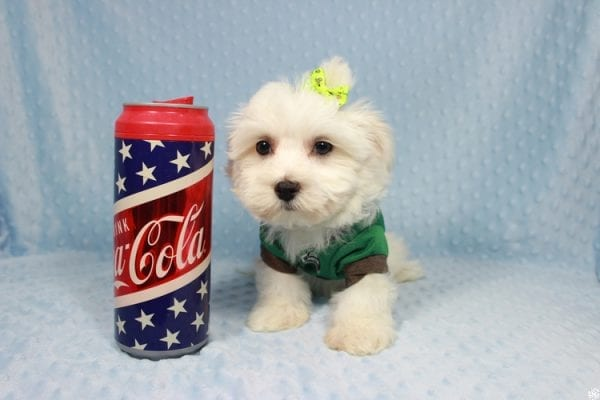 Peter Rabbit - Toy Maltipoo Puppy has found a good loving home with William from Henderson, NV 89183.-23294