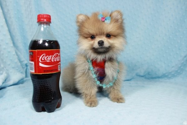 Powerball - Teacup Pomeranian Puppy has found a good loving home with Stacy from Henderson, NV 89052.-23128