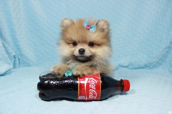 Powerball - Teacup Pomeranian Puppy has found a good loving home with Stacy from Henderson, NV 89052.-0