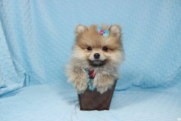 Powerball - Teacup Pomeranian Puppy has found a good loving home with Stacy from Henderson, NV 89052.-23129