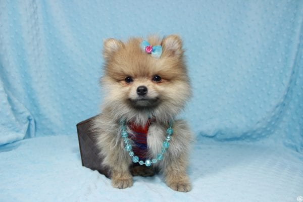 Powerball - Teacup Pomeranian Puppy has found a good loving home with Stacy from Henderson, NV 89052.-23130