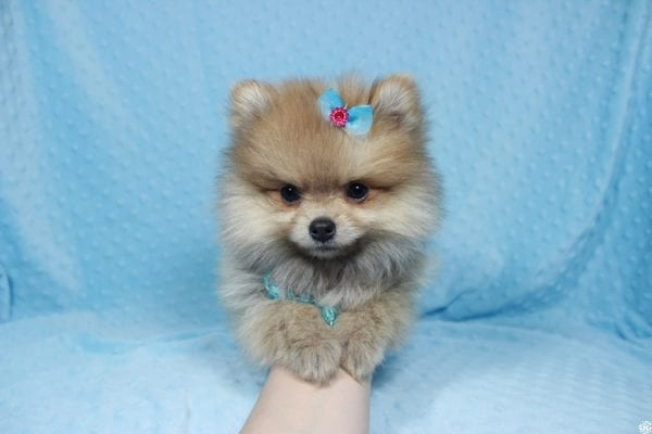 Powerball - Teacup Pomeranian Puppy has found a good loving home with Stacy from Henderson, NV 89052.-23131