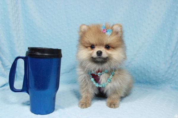 Powerball - Teacup Pomeranian Puppy has found a good loving home with Stacy from Henderson, NV 89052.-23132
