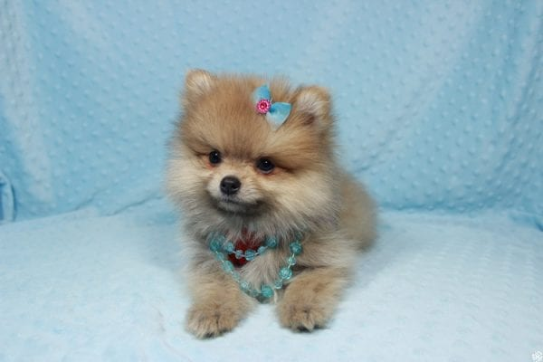 Powerball - Teacup Pomeranian Puppy has found a good loving home with Stacy from Henderson, NV 89052.-23133