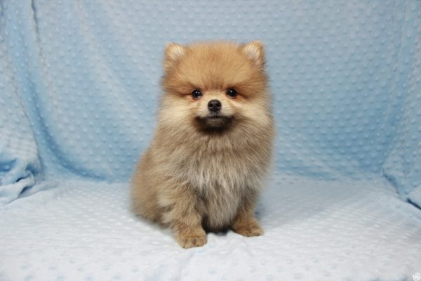 Powerball - Teacup Pomeranian Puppy has found a good loving home with Stacy from Henderson, NV 89052.-23126