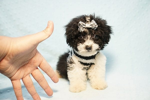 Ralph Lauren - Teacup Maltipoo Puppy Found his New Loving Home with Mellisa from NY 11207-23445