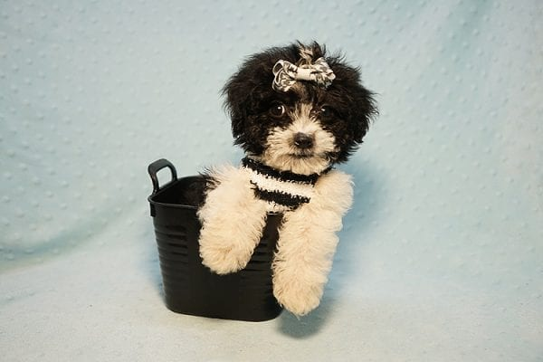 Ralph Lauren - Teacup Maltipoo Puppy Found his New Loving Home with Mellisa from NY 11207-23449