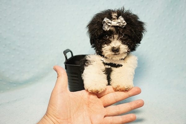 Ralph Lauren - Teacup Maltipoo Puppy Found his New Loving Home with Mellisa from NY 11207-23450