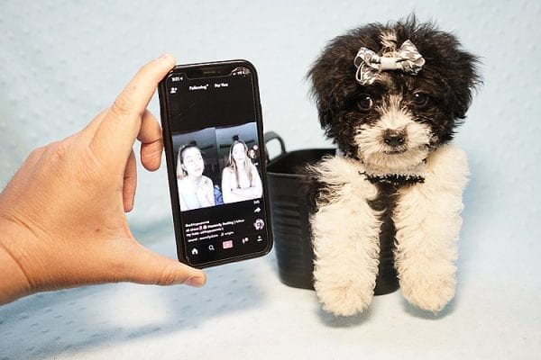 Ralph Lauren - Teacup Maltipoo Puppy Found his New Loving Home with Mellisa from NY 11207-23452